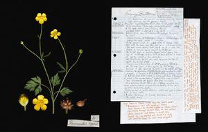 Family: Ranunculaceae. (Ranunculus repens) Creeping Buttercup