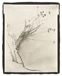 Botanical Specimen with Salt (Wildflower No. 4) © Claire A. Warden