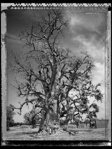 Baobab 05 Mali 2008 © Elaine Ling