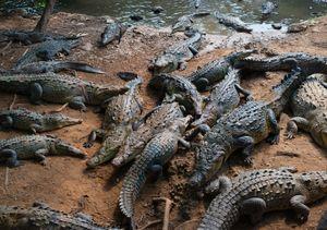 Crocodiles at Playa Linda. Ixtapa.