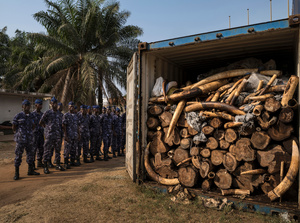 A container filled with tons of illegal ivory. Togo is seen as a new opportunity by ivory smugglers with its new deep water port. Yet, customs officers with new container scanning technology have made the efforts of these smugglers more difficult. Lome, Togo, 29 January 2014.