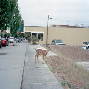 A fawn looses its way and wanders into downtown Anacortes, Washington