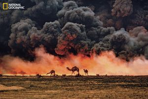 Under the black clouds of burning oil fields during the Gulf War, camels forage desperately for shrubs and water in southern Kuwait. Front-line photographs of regions ravaged by human strife can also illuminate war's environmental cost. From the October 125th anniversary issue of National Geographic magazine © Steve McCurry/National Geographic