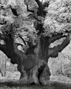 Major's Oak
