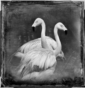 © Dianne Yudelson Chilean Flamingos
