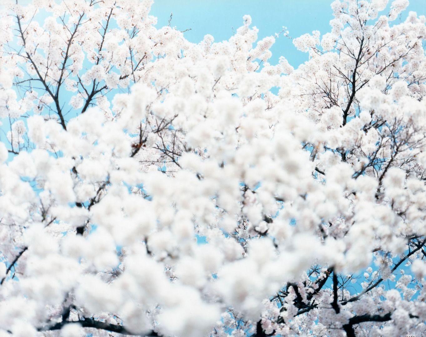 Sakura: Time with Cherry Blossoms