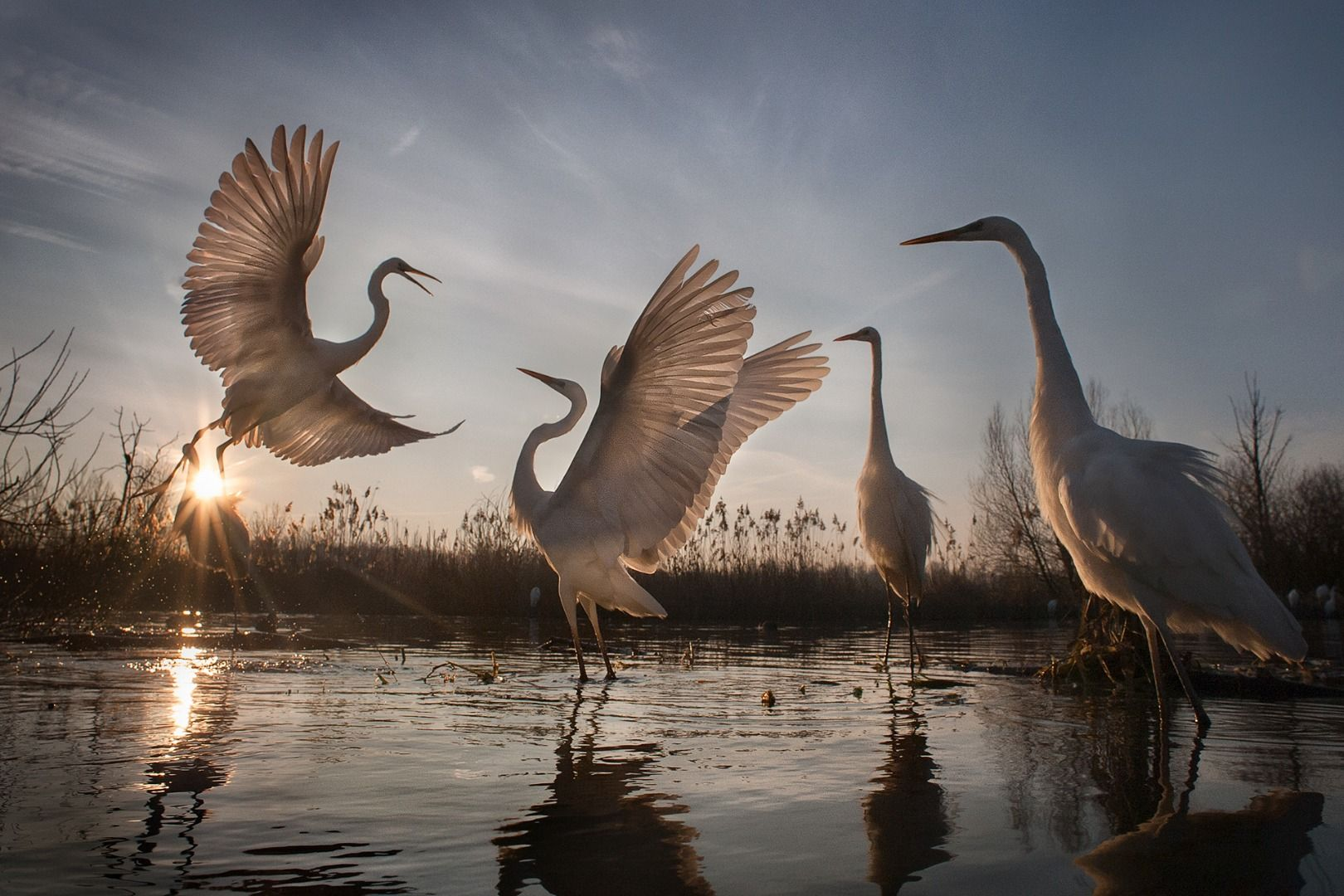Great Egrets: A Nature Conservation Success