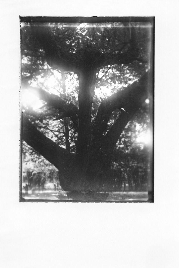 Lodz Ghetto Trees